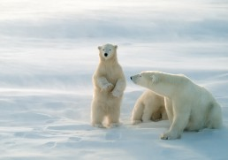 Best places to see polar bears