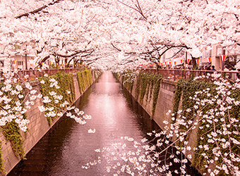 Cherry Blossoms | TravelManagers