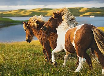 Shetland Lerwick Ponies running, Scotland | TravelManagers